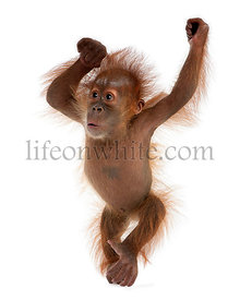 Baby Sumatran Orangutan, 4 months old, standing in front of white background