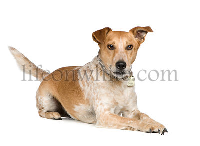 Mixed-Breed Dog between fox terrier and jack russel