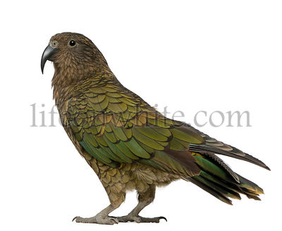 Kea, Nestor notabilis, a parrot, standing in front of white background