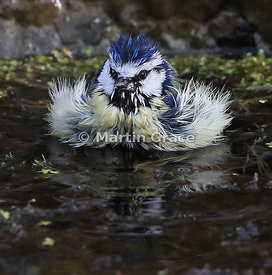 European Blue Tit (Cyanistes caeruleus) bathing vigorously in the garden pond with feathers spread to allow water deep into i...