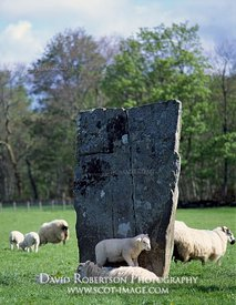 Image - Lamb standing on its mothers back by standing stone, Kilmartin Glen, Scotland