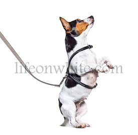 Learning process with a Jack Russell Terrier on hind legs, isolated on white