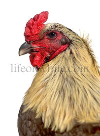 Close-up of a side of Gamecock rooster isolated on white