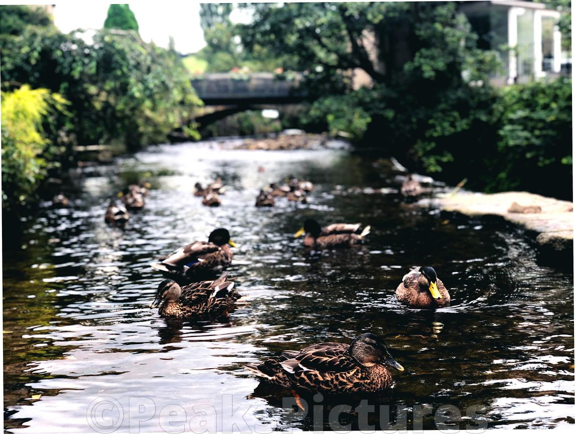 Ducks_on_river_Sett_Hayfield_220819