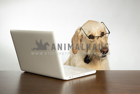 Yellow lab dog wearing glasses and working on computer isolated on white background