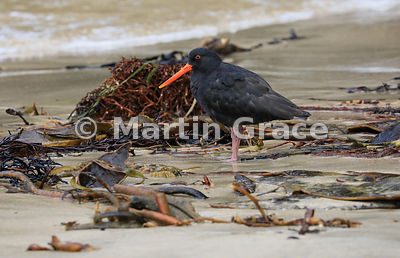 Dark morph Variable Oystercatcher (Black Oystercatcher) (Haematopus unicolor) standing among seaweed on Butterfield Beach, St...