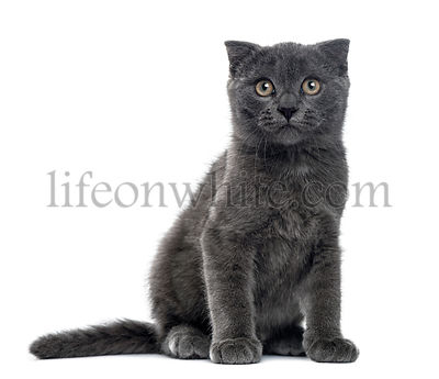 A Scottish Fold kitten sitting, isolated on white, 12 weeks old