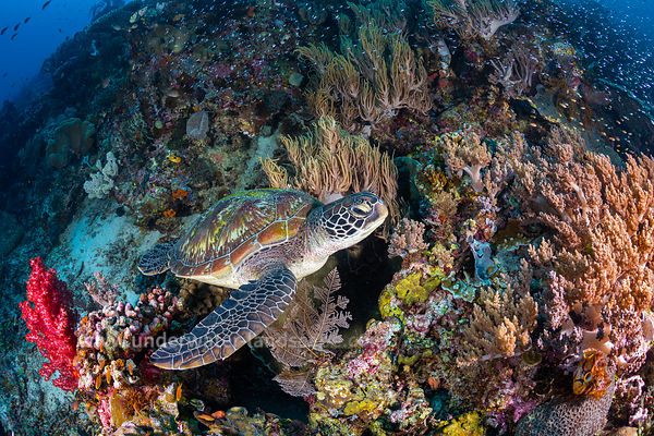 Coral garden and green turtle