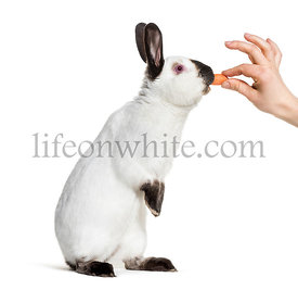 Russian rabbit standing against white background