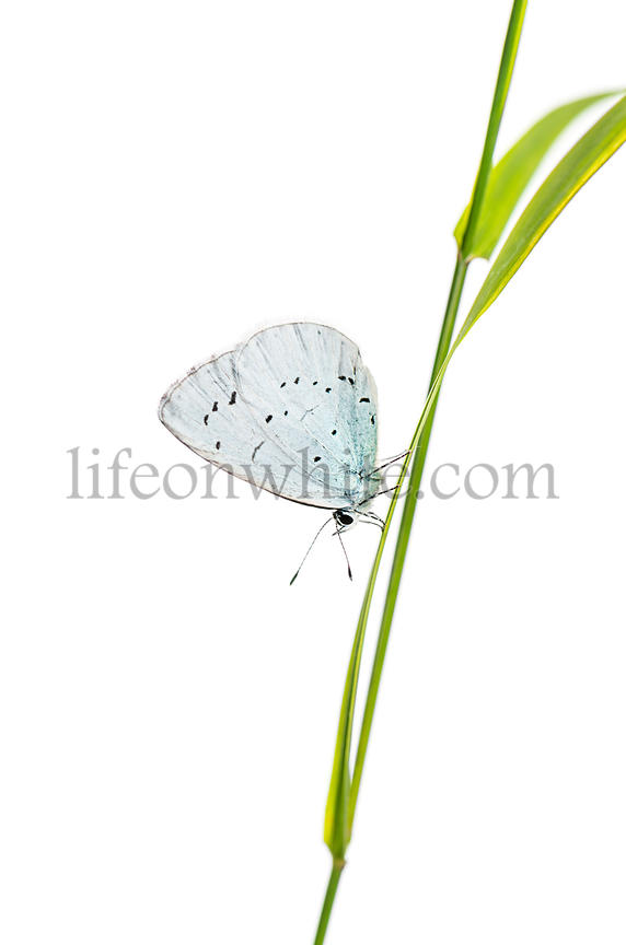 holly blue, Celastrina argiolus, on a blade of grass in front of a white background