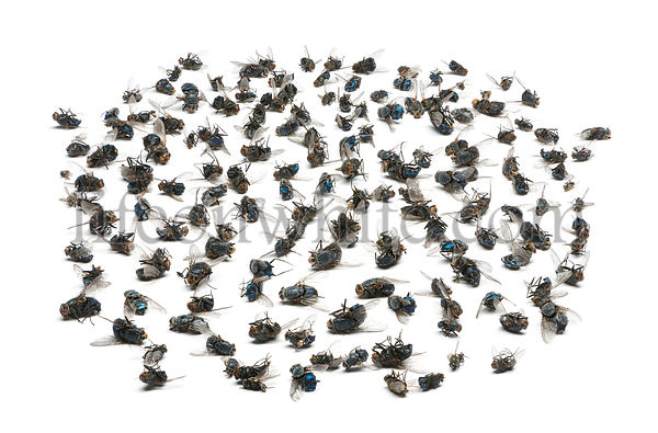 Group of dead flies, isolated on white