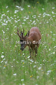Roe Deer buck (Capreolus capreolus) feeds in a South Lakeland grazing meadow with prominent Oxeye Daisies (Leucanthemum vulga...