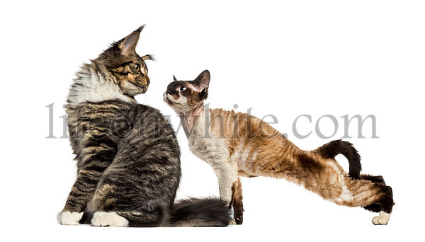 Maine Coon sitting and Devon Rex, in front of white background