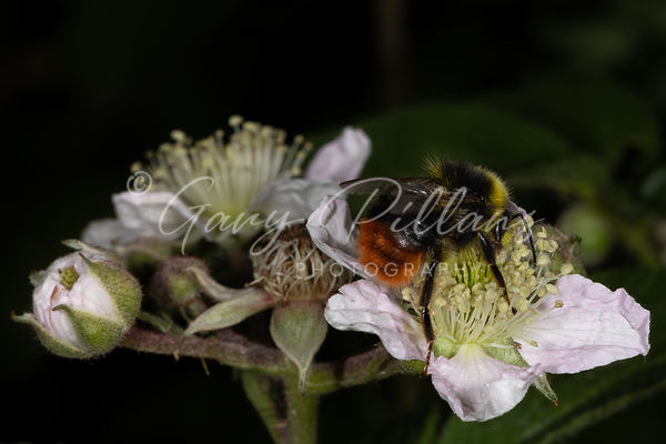 Red tailed bumblebee male