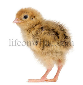 Japanese Quail, also known as Coturnix Quail, Coturnix japonica, 3 days old, in front of white background