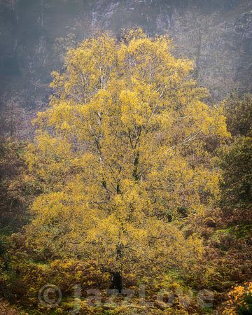 Tree with yellow leaves on foggy autumn meadow.