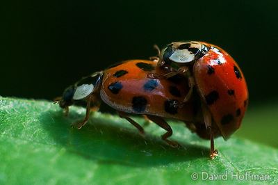 Copulating ladybirds on a runner bean plant