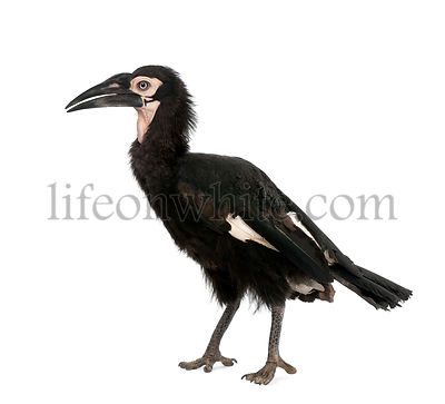 Young Southern Ground-hornbill, Bucorvus leadbeateri, 18 months, in front of a white background, studio shot