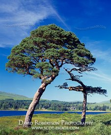 Image - Scots pine trees beside Loch Tulla, Argyll, Scotland