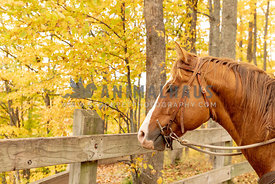 A brown horse in front of a rustic fence in an autumn forest