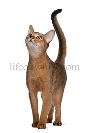 Abyssinian cat, 11 months old, standing and looking up in front of white background