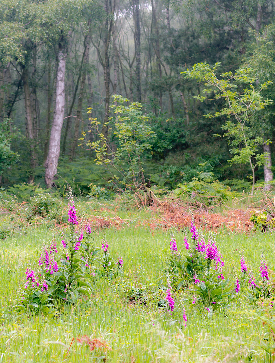 Foxgloves in Sherwood Forest