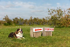 A shepherd dog next to a pumpkin sign