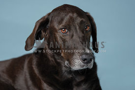 close up head shot of dark brown lab mix with blue background in the studio