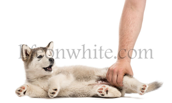 puppy lying on the side with a human hand