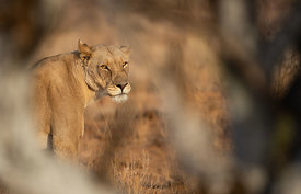 Lioness, Erindi Game Reserve