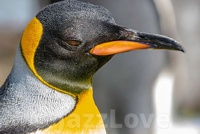 Close up profile portrait of king penguin.Animal head only.