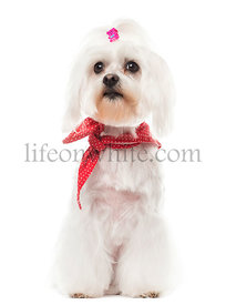 Maltese with a red bow collar, sitting, isolated on white