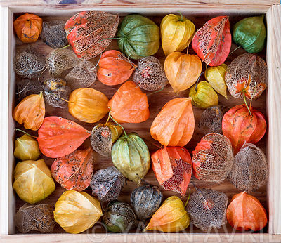Physalis alkekengi-Chinese lantern, seed cases on a wooden background