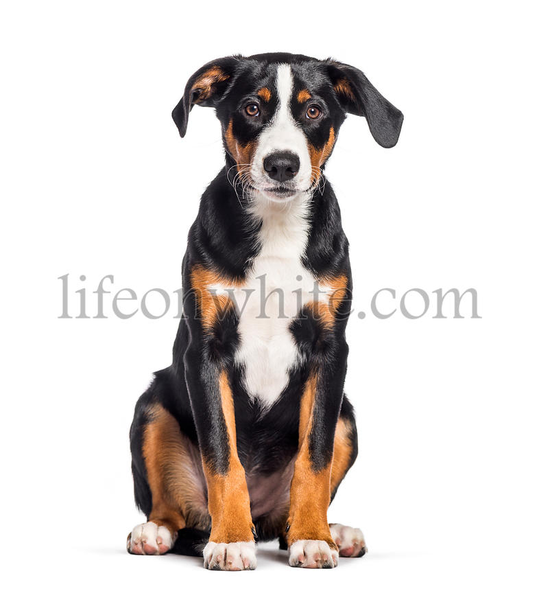 Appenzeller Sennenhund, 4 months old, sitting in front of white background