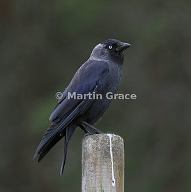 Western Jackdaw (Corvus monedula) standing on a fence post, Badenoch & Strathspey, Scottish Highlands
