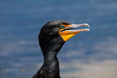 Skarfur_-_Portrait_of_a_Cormorant_-_emm.is