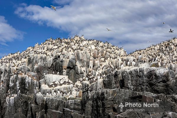FARNE ISLANDS 22A - Seabird colony, Staples Islan