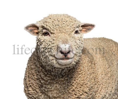 Head shot, portrait, Southdown sheep, Babydoll, smiling sheep, isolated