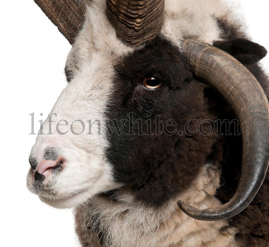 Close-up of Multi-horned Jacob Ram, Ovis aries, in front of white background