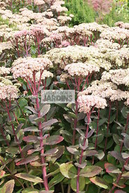 Sedum 'Matrona'. Hollande