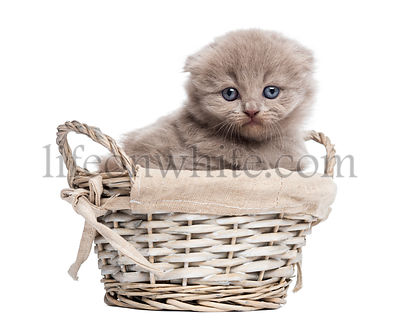 Front view of a Highland fold kitten in a wicker basket, isolated on white