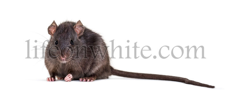 Black rat, Rattus rattus, sitting in front of white background