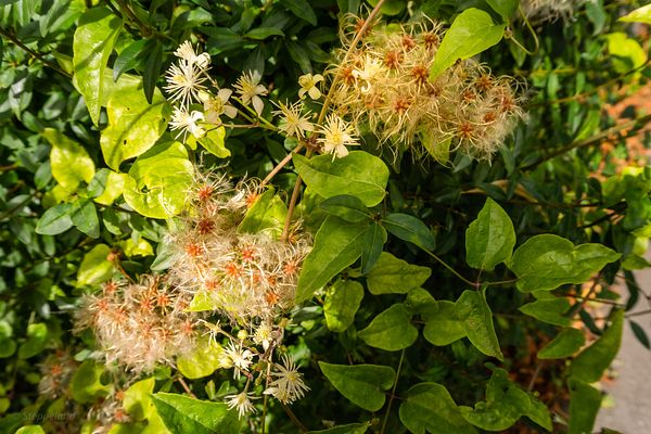 Old men's beard flowers and seeds - Clematis vitalba