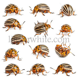 Composition of Colorado potato beetles, also known as the Colorado beetle, the ten-striped spearman, the ten-lined potato bee...
