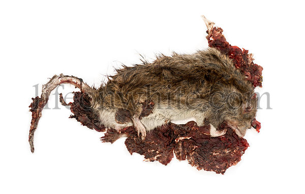 Roadkill Street rat in state of decomposition, Rattus norvegicus, isolated on white