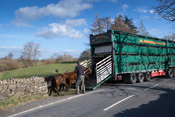 Farmer unloading wagon load of beef cattle as they come home from wintering, Hawes, North Yorkshire, UK.