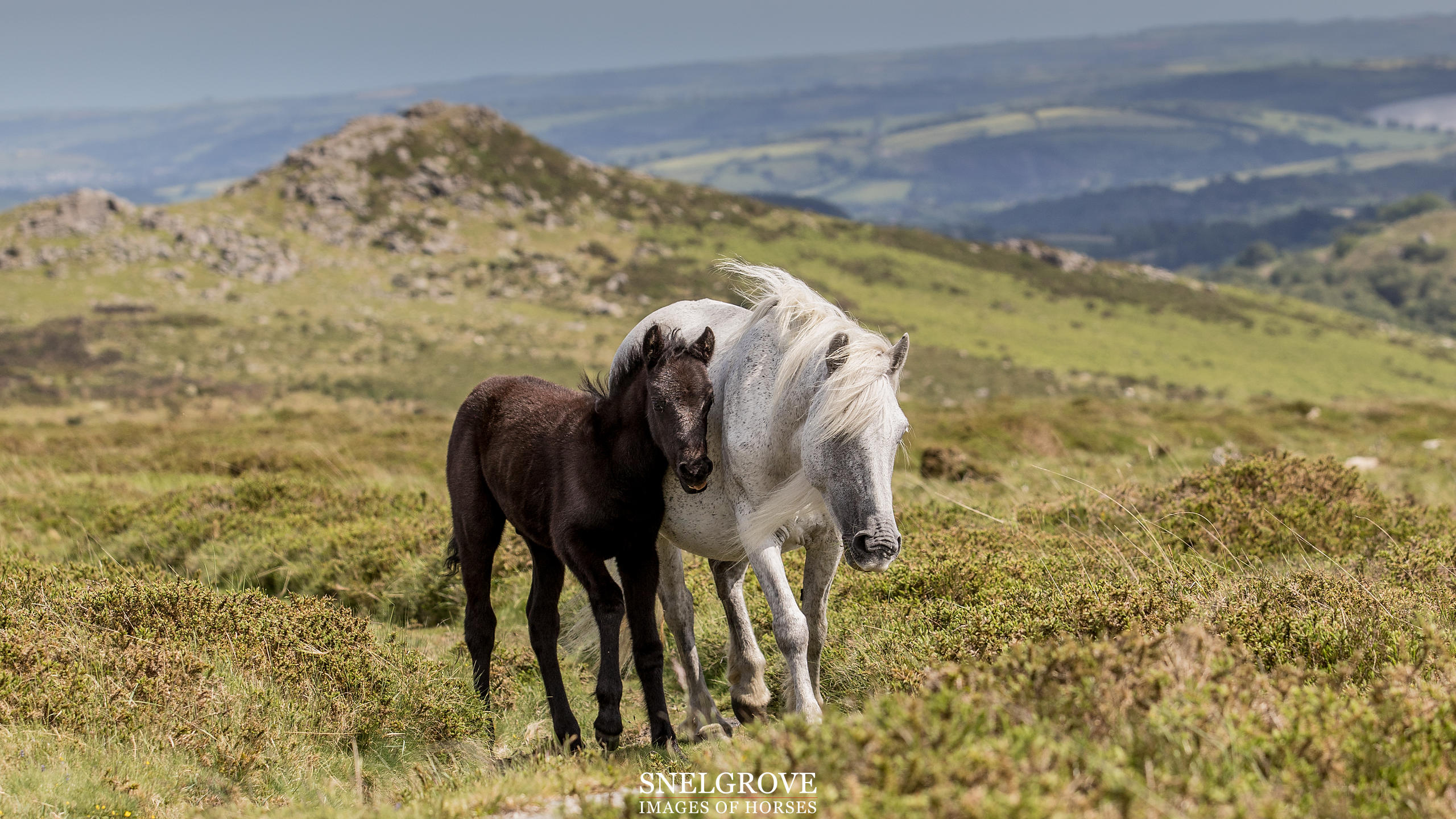 Dartmoor Mare & Foal - Sharp Tor