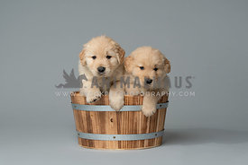 2 golden retriever puppies ina  wood bucket on grey backdrop