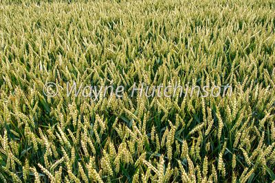 Crop of wheat nearing the ripe stage. North Yorkshire, UK.