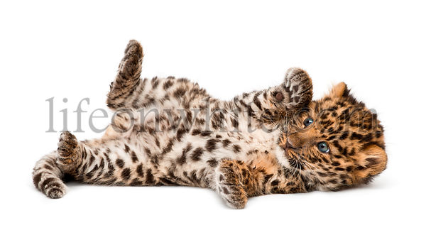 Amur leopard cub, Panthera pardus orientalis, 9 weeks old, lying against white background